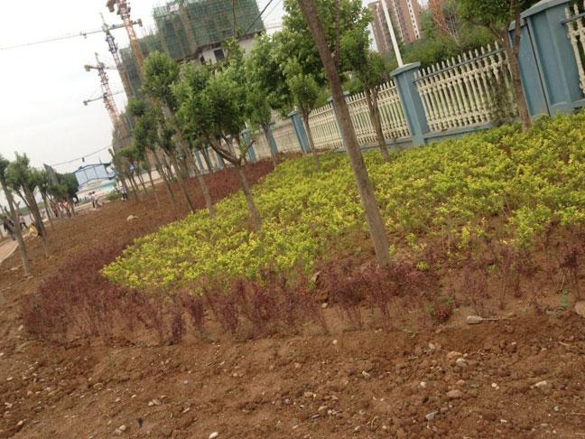 本段植物多以常绿树种为主,沿滨河路的行道树采用富有季相变化的银杏